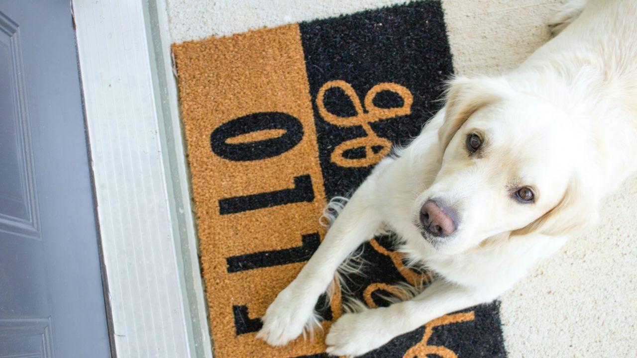 玄関で見上げる白い犬