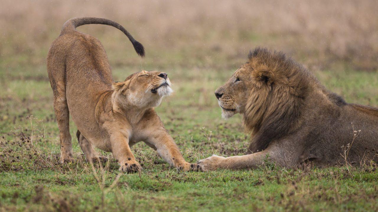 伸びをしているライオン